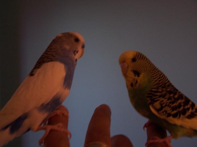 Mes perruches 1 an aprés Milo et Mila  100_9910