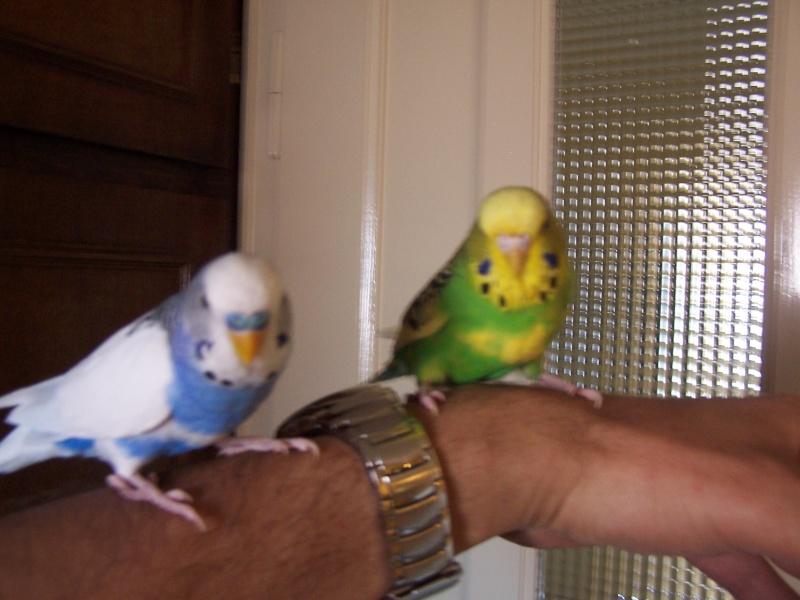 Mes perruches 1 an aprés Milo et Mila  100_9911