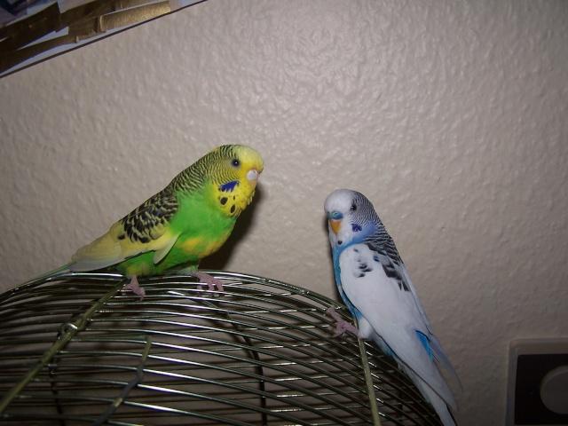 Mes perruches 1 an aprés Milo et Mila  100_9912