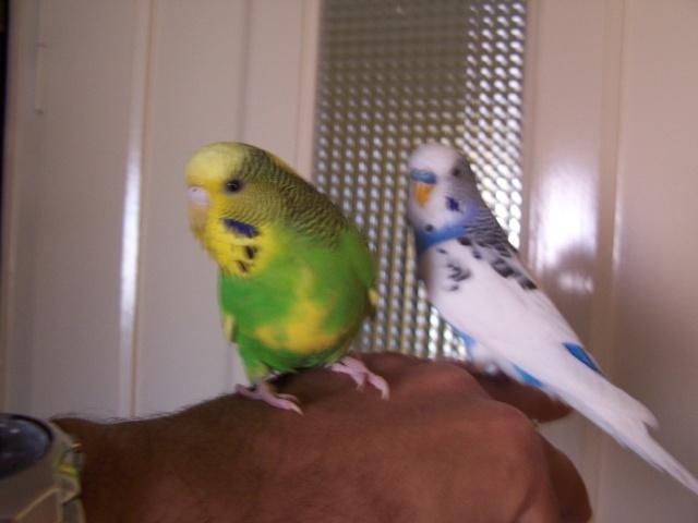 Mes perruches 1 an aprés Milo et Mila  100_9913