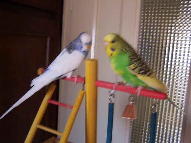 Mes perruches 1 an aprés Milo et Mila  100_9914