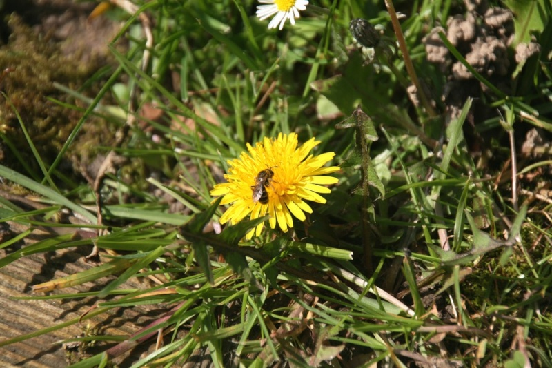 une abeille sur un pissenlit Copie_60