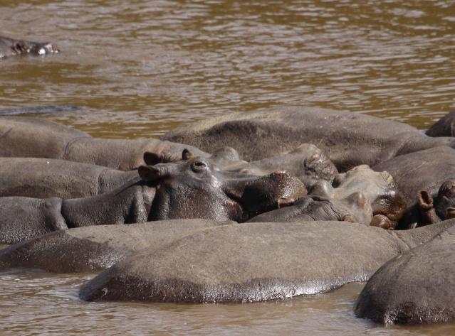 Maasai Mara - September 2011 Hippos11