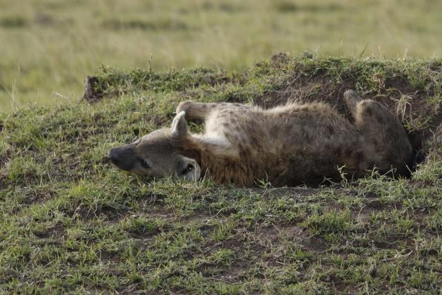 Maasai Mara - September 2011 Hyena11