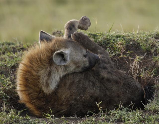 Maasai Mara - September 2011 Hyena111