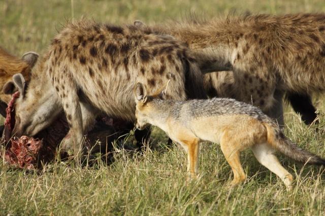 Maasai Mara - September 2011 Hyena_10