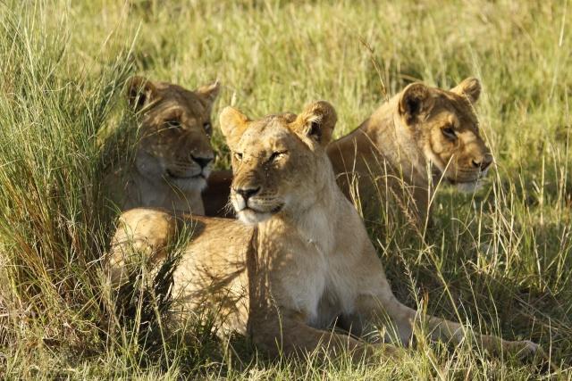 Maasai Mara - September 2011 Liones12