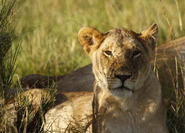 Maasai Mara - September 2011 Liones13