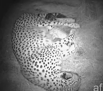 A Cheetah Cubs Tail Mwsna129