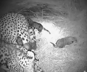 A Cheetah Cubs Tail Mwsna133