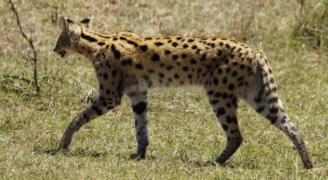 Maasai Mara - September 2011 Serval15
