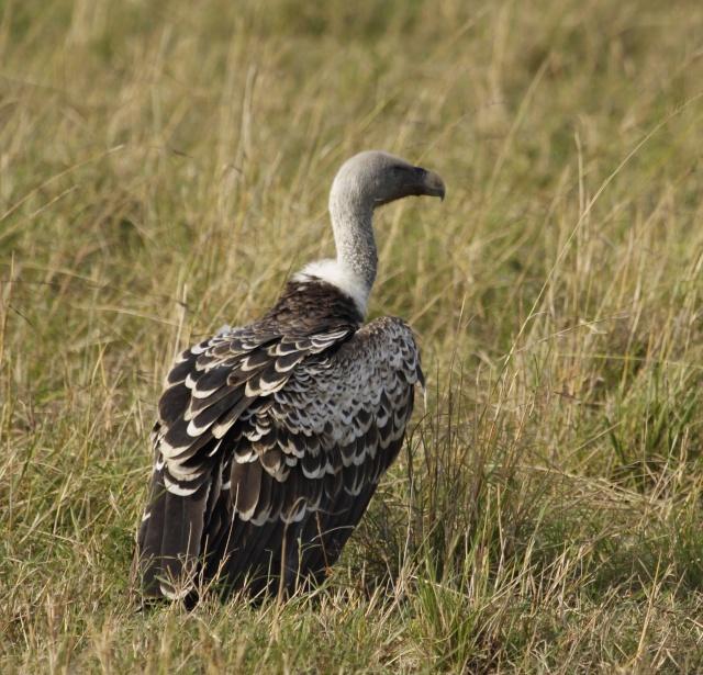 Maasai Mara - September 2011 Vultur10
