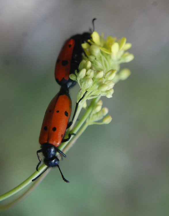 Insecte rouge Insect11