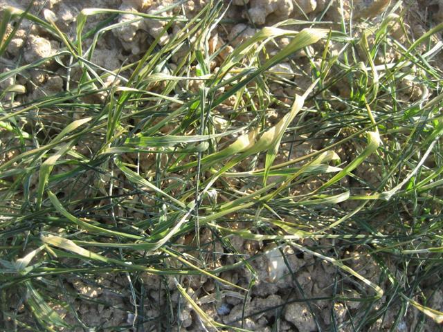 Risque de gel important pour les blés - Page 10 Img_5323