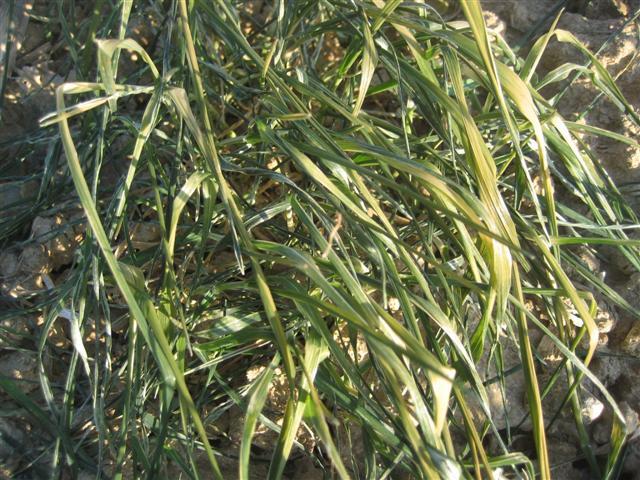Risque de gel important pour les blés - Page 10 Img_5324