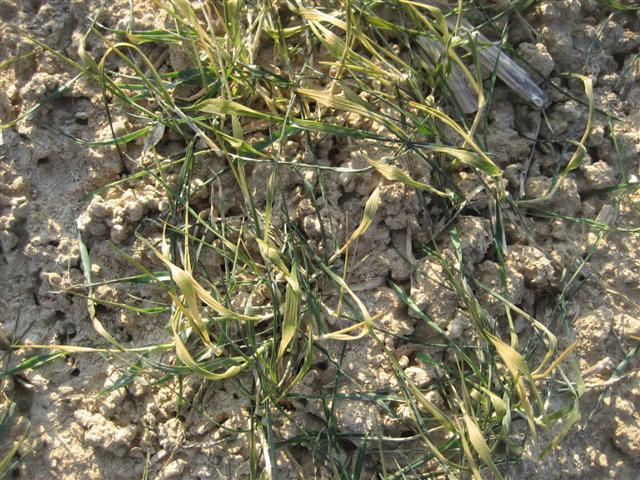 Risque de gel important pour les blés - Page 10 Img_5325