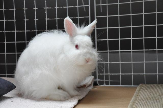 Sweety, jeune lapin blanc [Ani-nounou] Dsc_7622
