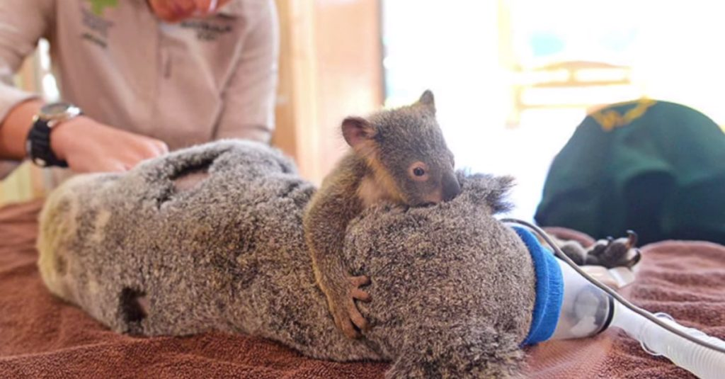 The love between Mother and Baby Koala10