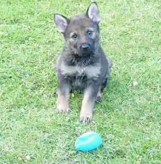 Devon & Cornwall Police Dogs (Puppy Development Program) Pic_5_10