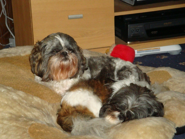 Rescuing two Shih Tzus tonight Dogs2_11