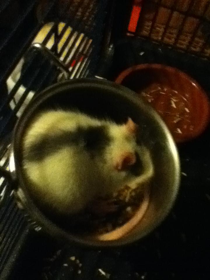 Rats & Ratons domestiques en pleine avenue - Page 20 Img_0614