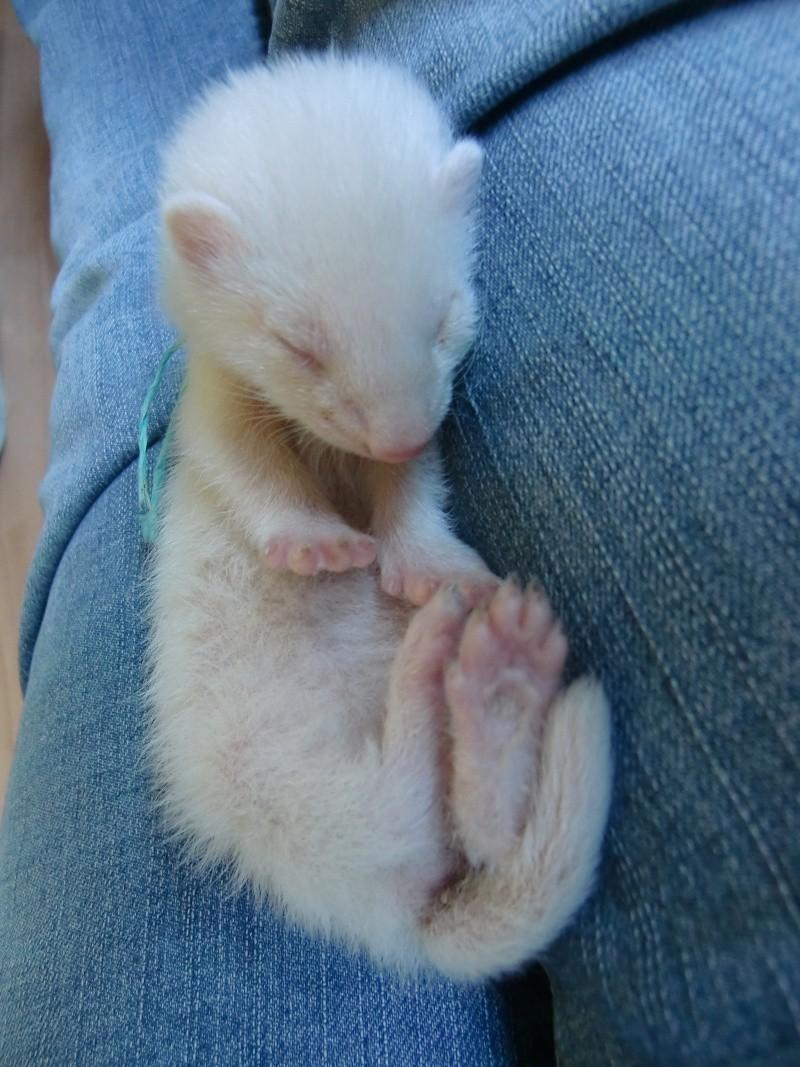 Luna, fureton femelle albinos - adoptée par willowsv Cimg4113