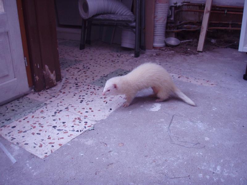 Mica, furette albinos -adoptée par Aurélien P. P5200210