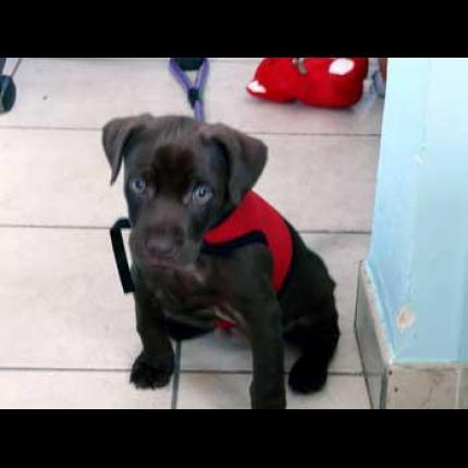 Gervoise,petite chienne chocolat,volée dpt 62,pucée 36168_10