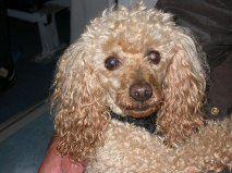 Pilou,M abricot âgé de 17 ans,perdu dpt 27,tatoué Canich10