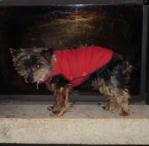 MICKY Yorkshire 14 ans, 2,6 kg : lapidé à mort par un voisin Micky-10