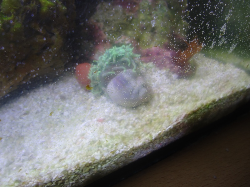 est  se qu c'est la fin de mon anemone? Dsc05210