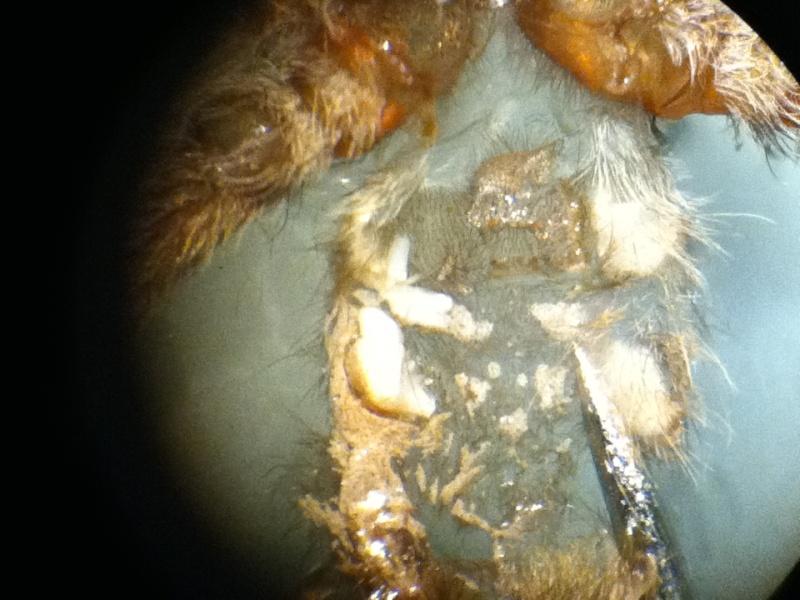 Heteroscodra maculata X20_lu11
