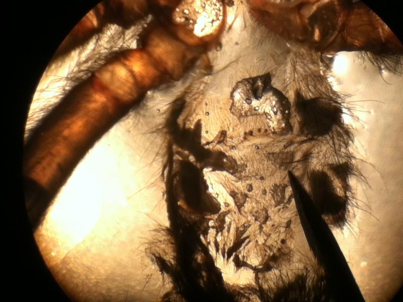 Heteroscodra maculata X20_lu12