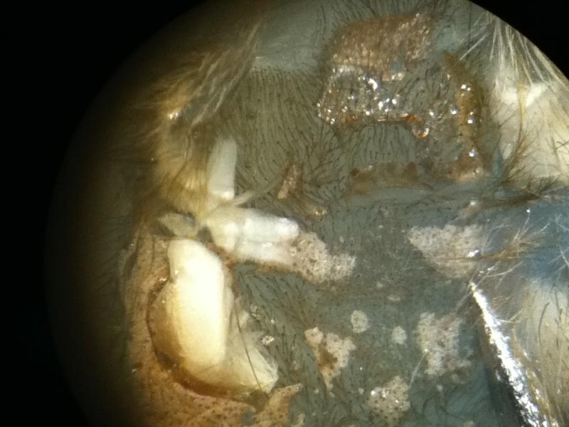 Heteroscodra maculata X40_lu11