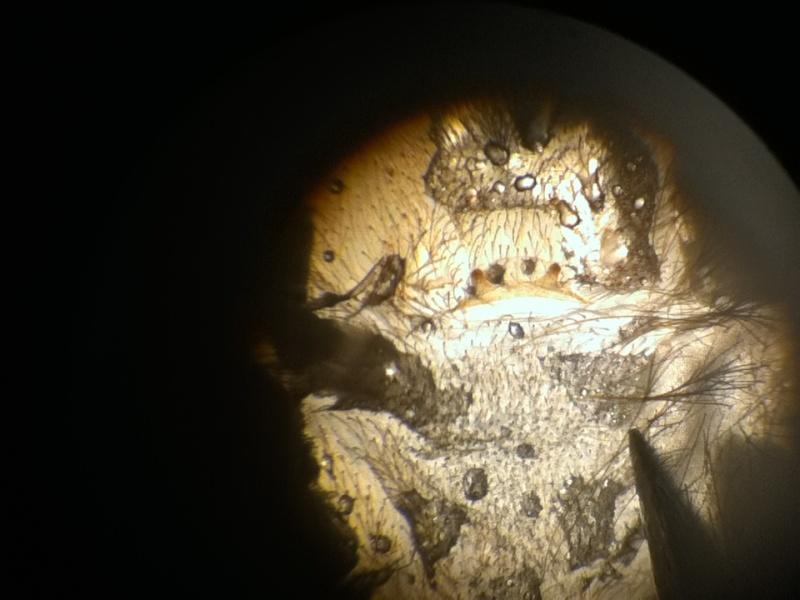 Heteroscodra maculata X40_lu12