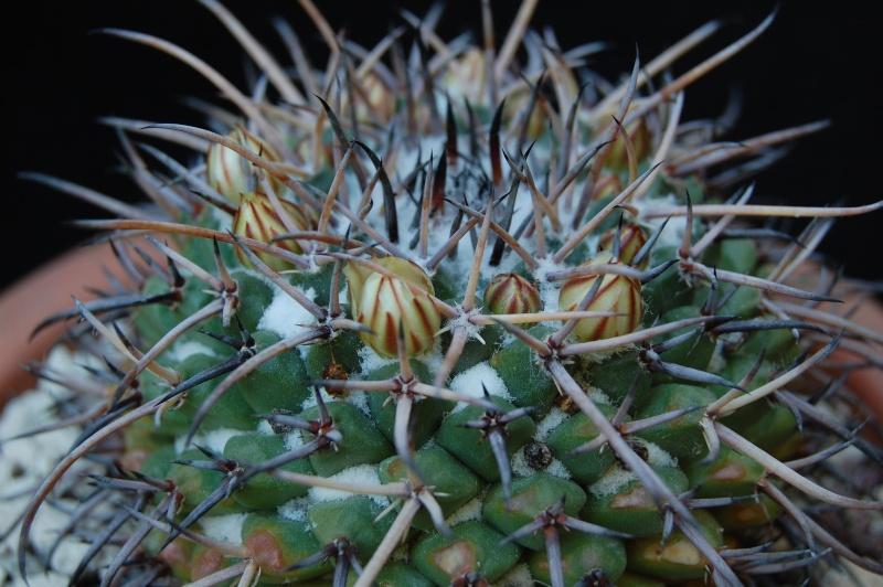 Mammillaria saint-pieana -2012017