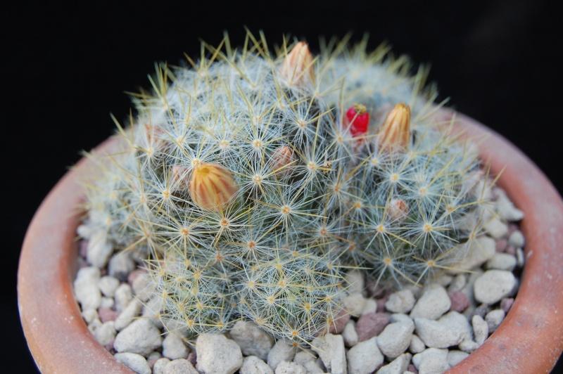 mammilaria prolifera WTH 140 -2012018