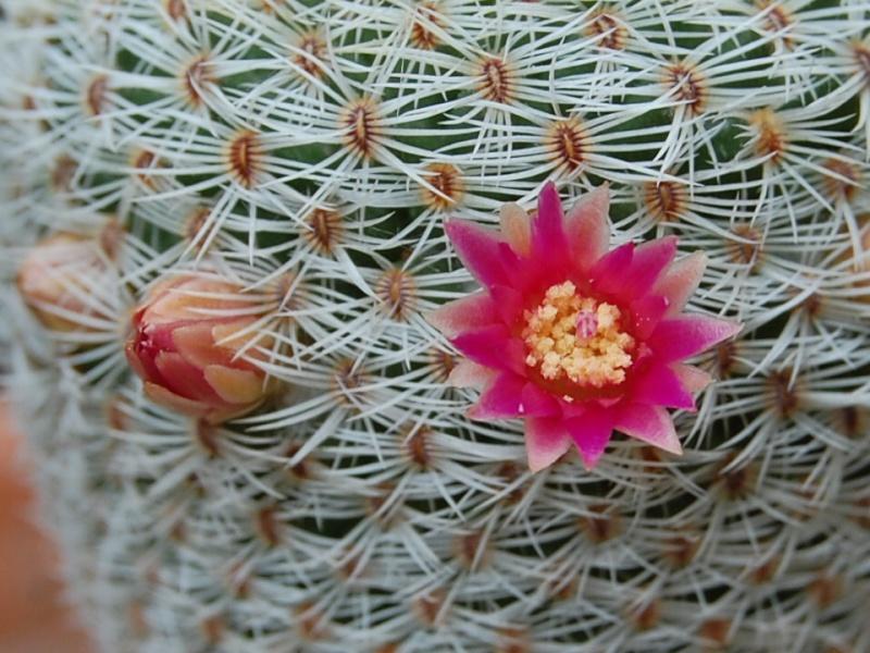 Mammillaria crucigera -2012023