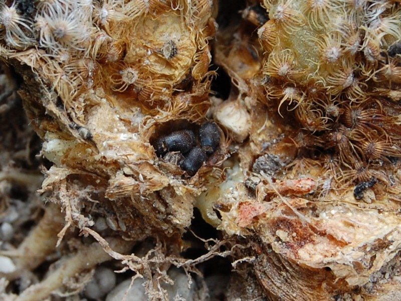mammillaria saboae ssp haudeana - seeds -2012029