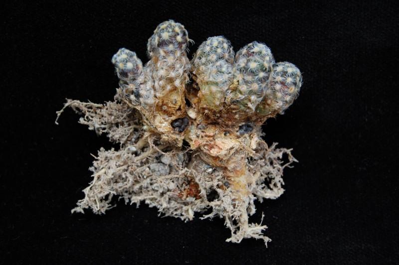 mammillaria saboae ssp haudeana - seeds -2012032