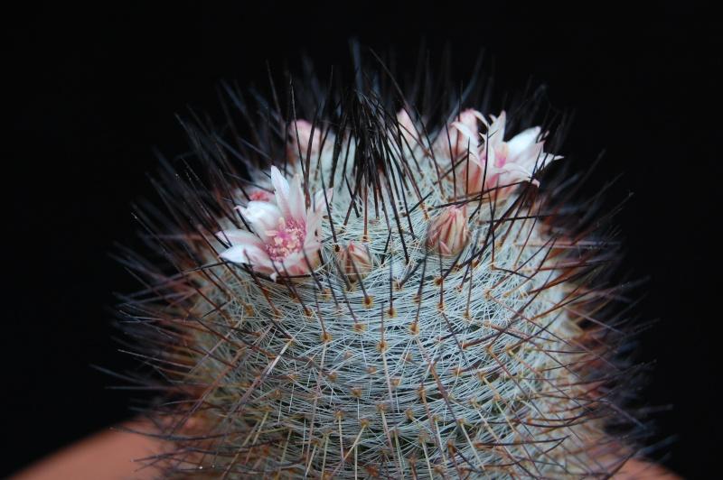 Mammillaria ritteriana 05-20110