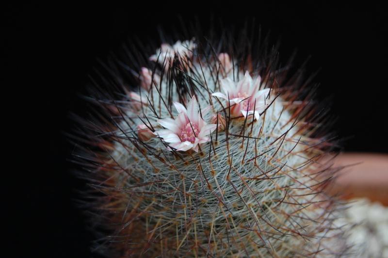 Mammillaria ritteriana 05-20111