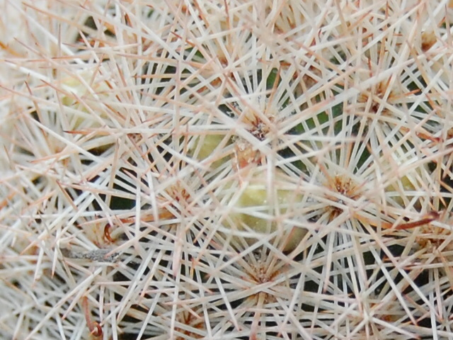 Mammillaria magallanii v. hamatispina Rog 088 1651-211