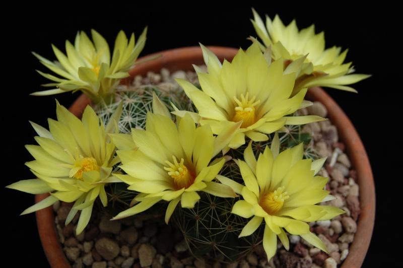 Mammillaria sphaerica 1662-210