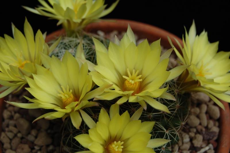 Mammillaria sphaerica 1662-211