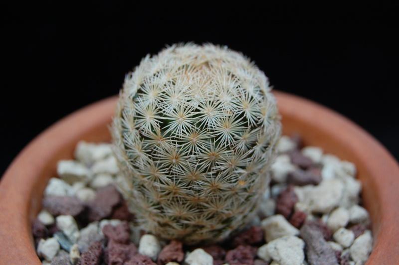 Mammillaria wohlschlageri 2211-210