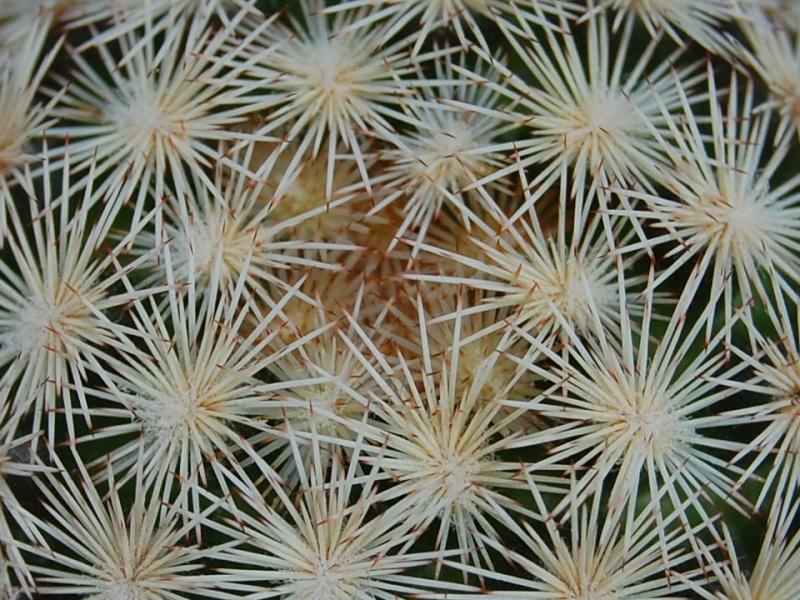 Mammillaria wohlschlageri 2211-212