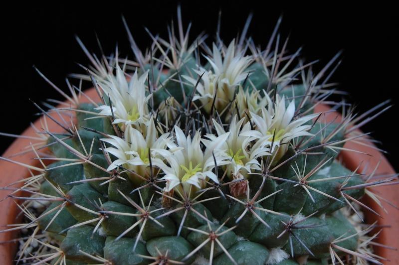 Mammillaria melanocentra 2219-210