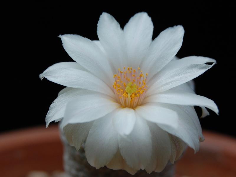 Mammillaria albiflora 2229-211