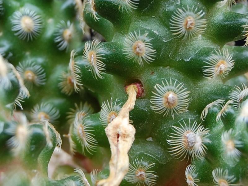 mammillaria saboae ssp haudeana - seeds 2247-210